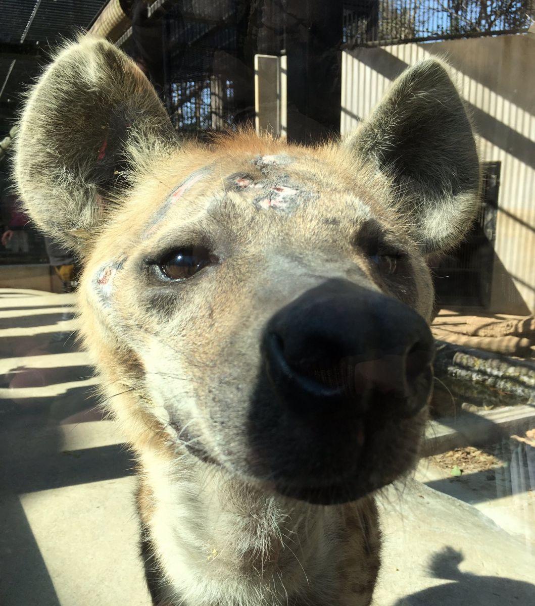 hyenaomiya01